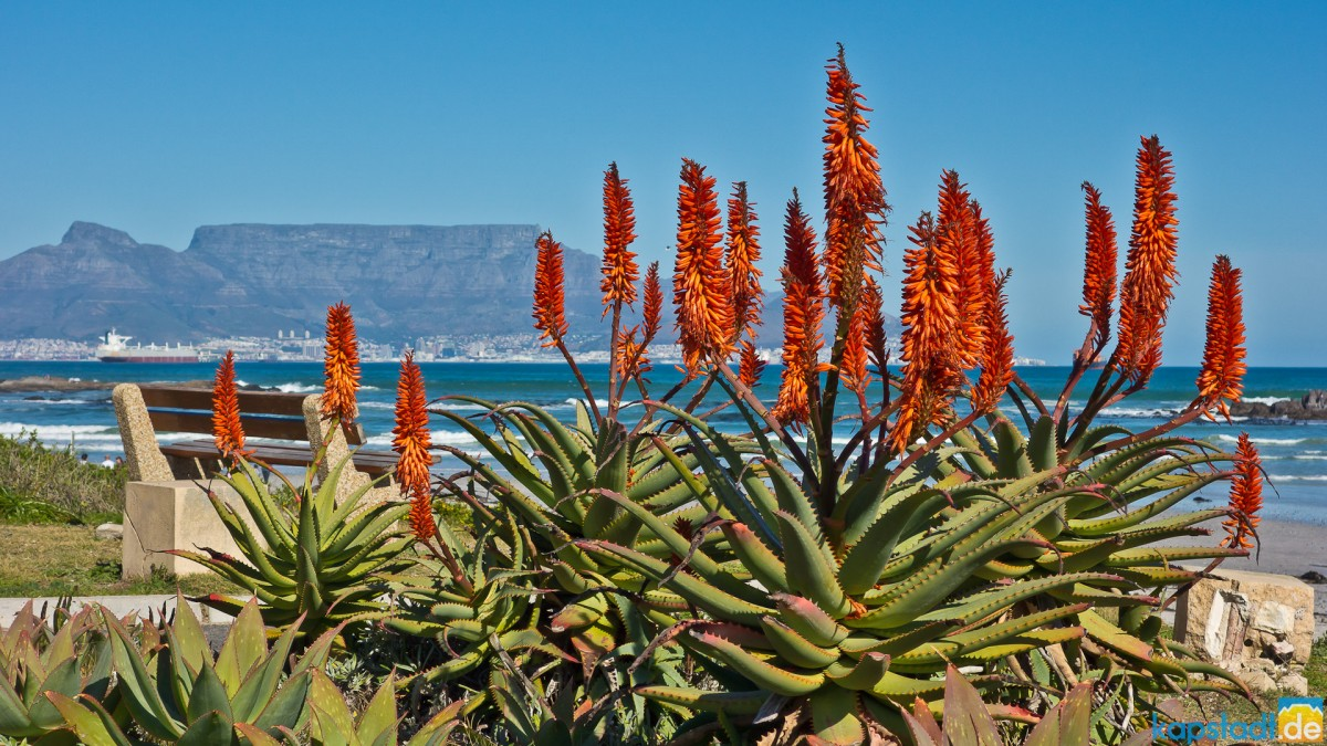 Aloe ferox flowering in spring time at Bloubergstrand