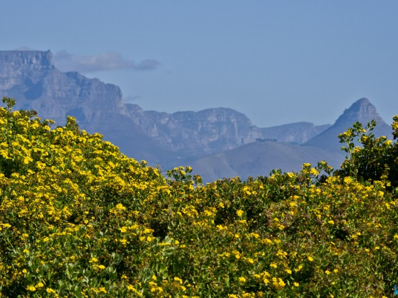 Springflowers at Bloubergstrand