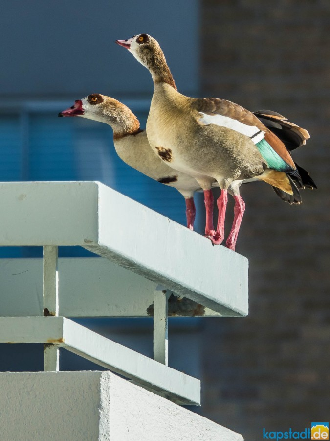 Egyptian goose on the balcony