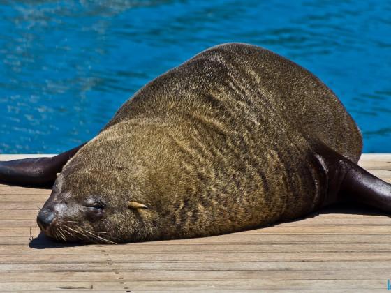 Seal at the V&A Waterfront