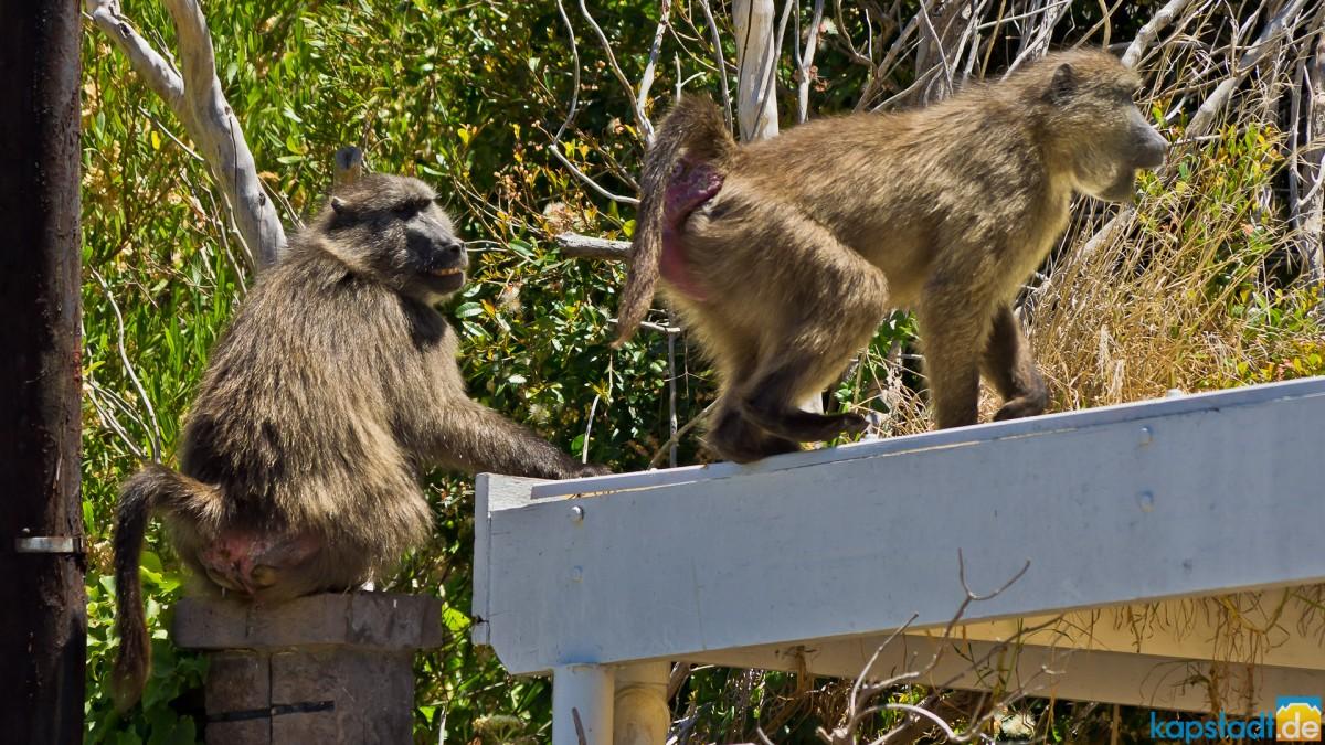 House invading baboons in Kommetjie