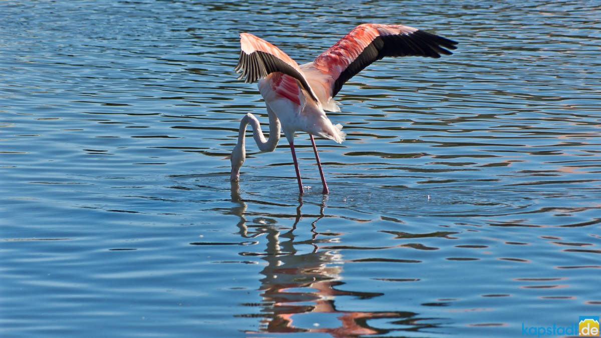 Flamingo at the Milnerton Lagoon