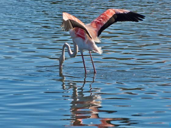 Flamingo at the Milnerton Lagoon