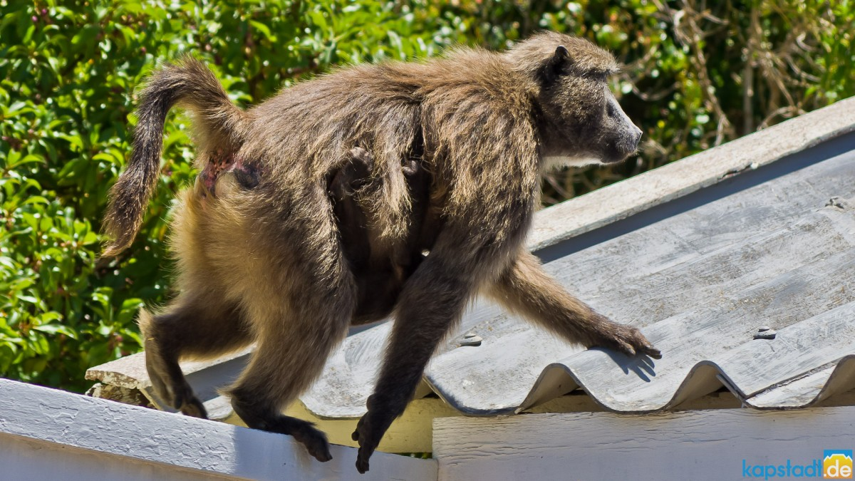 House invading baboons in Kommetjie