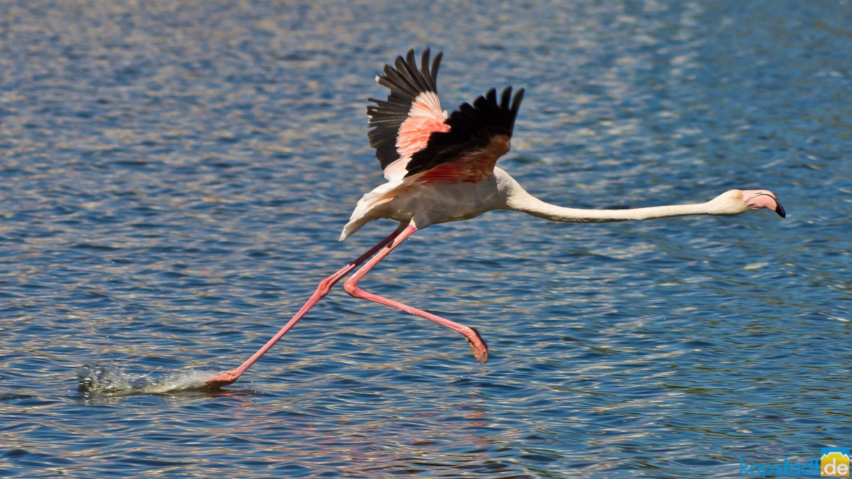 Starting Flamingo in the Milnerton Lagoon