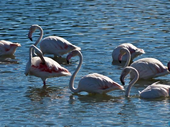 Flamingos in the Milnerton Lagoon