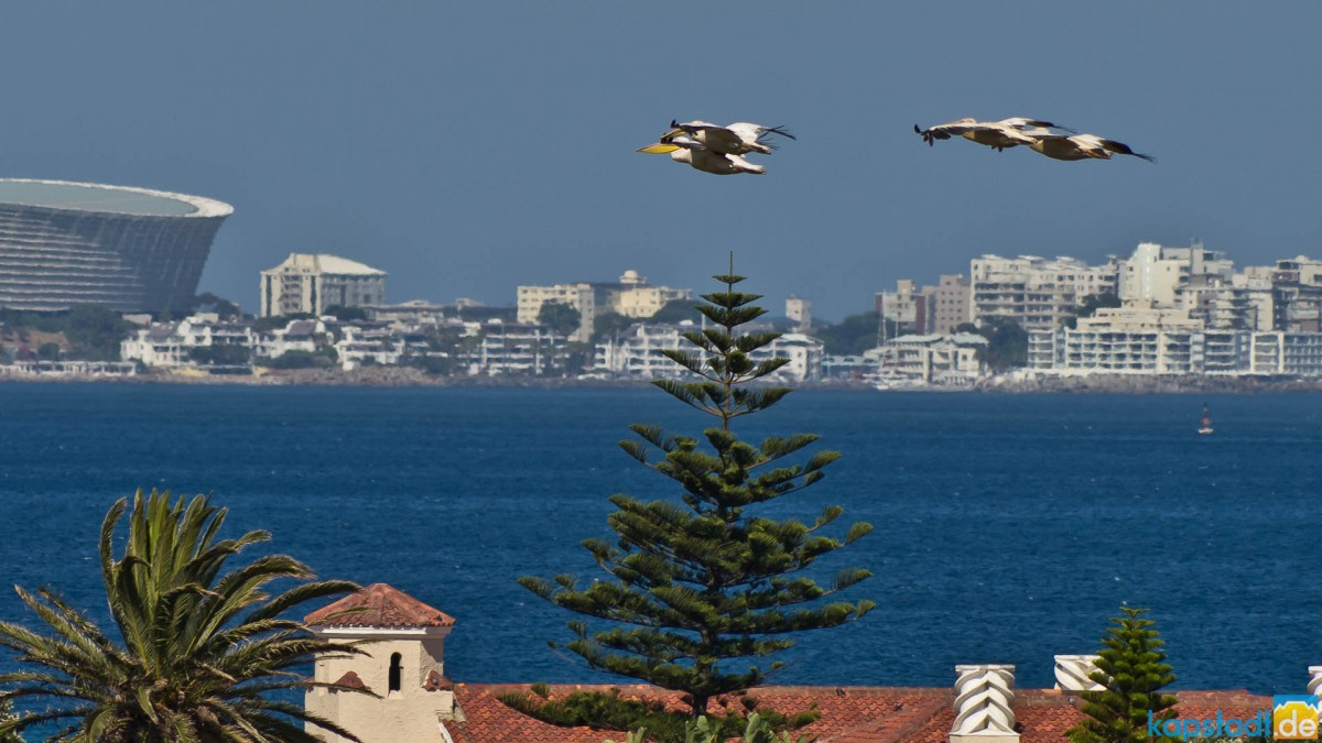 Pelikans over Woodbridge Island with Green Point in the distance