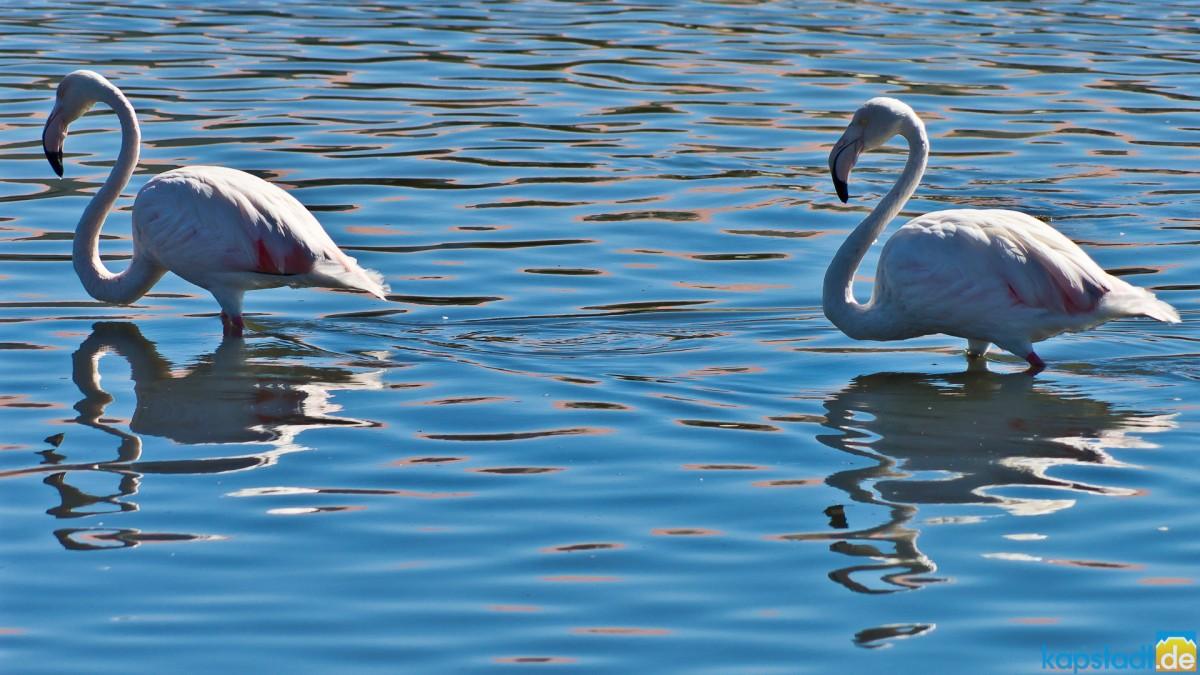 Flamingos at the Milnerton Lagoon