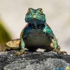 On top of Table Mountain: Agama lizard