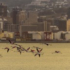 Flamingos at the Milnerton Lagoon
