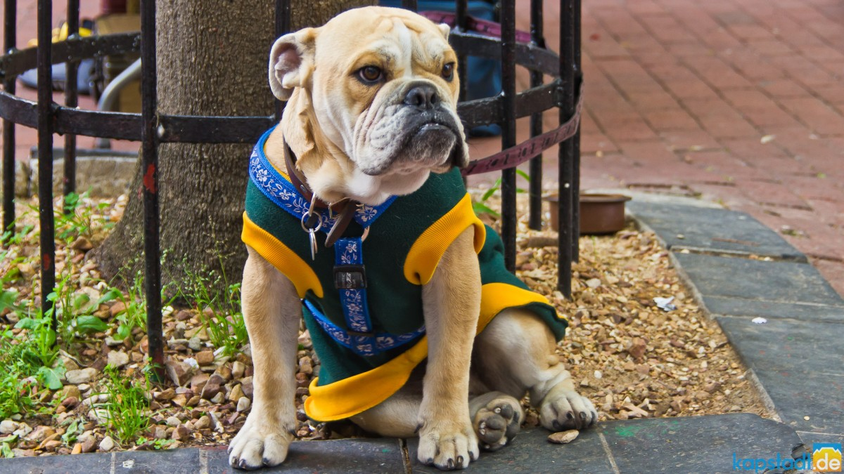 Grumpy dog in his rugby Springbok jersey