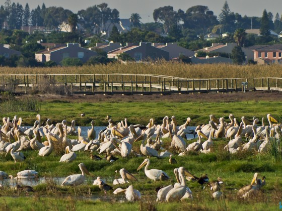 Pelicans in Flamingo Vlei