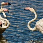 Flamingos in the Milnerton Lagoon