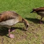 Egyptian goose in the Company Garden