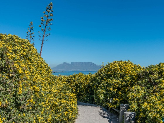 Yellow flowering at Blouberstrand