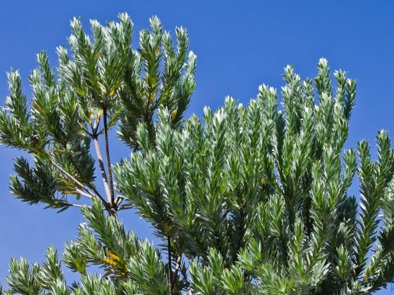 Kirstenbosch Botanical Garden - Silvertree